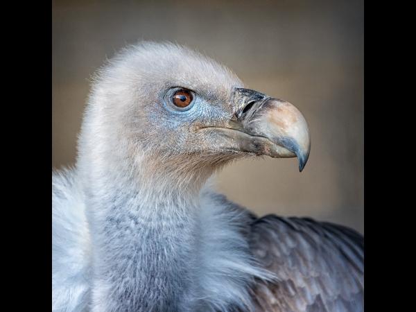 Joint 2nd, Bryan Averill, Griffon Vulture