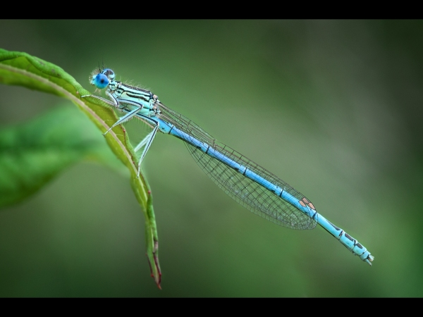 Joint 2nd Andrew Charlesworth CPAGB Common Blue Damselfly