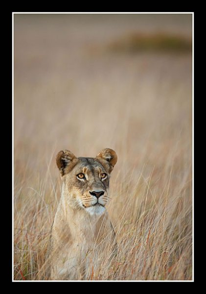 Joint 2nd WrayDouglas - Okavango Lioness
