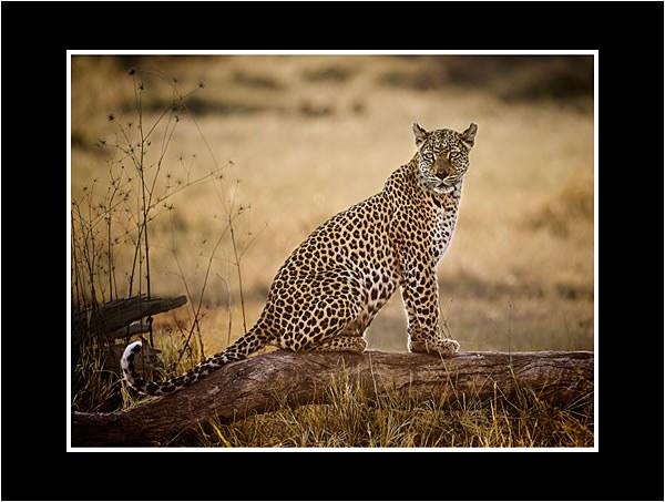 01 Female Leopard