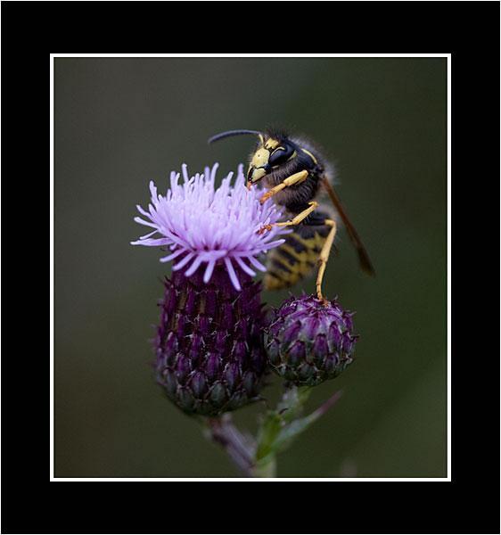 08 Wasp Feeding jpg