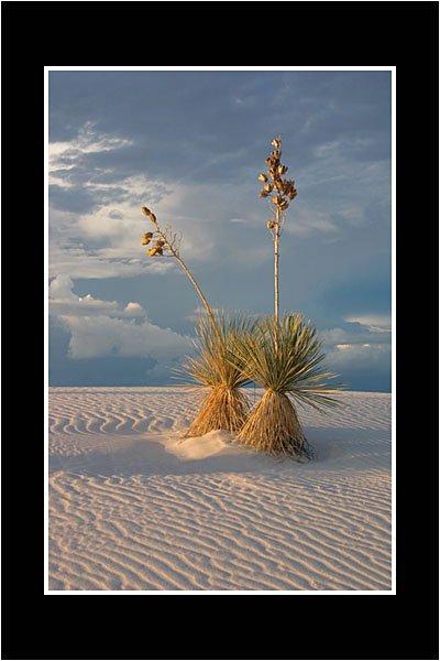01 Desert Yuccas