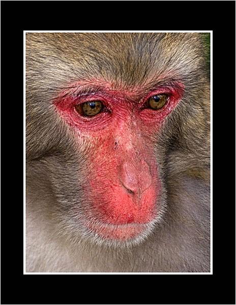 01 Rhesus Macaque