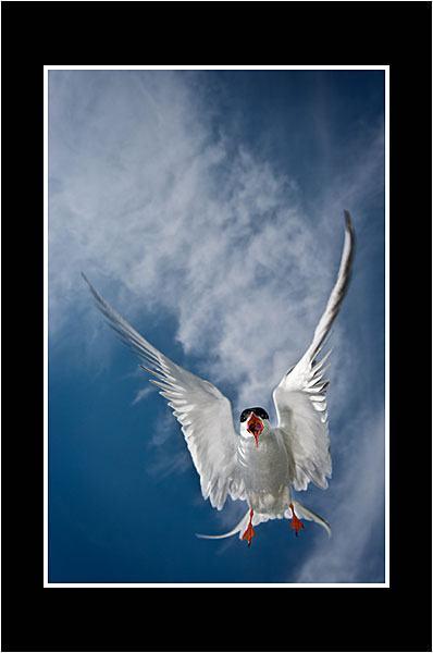 01 Arctic Tern