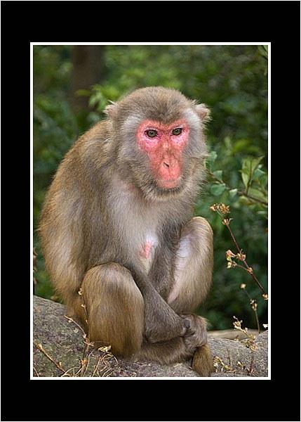 09 Macaque