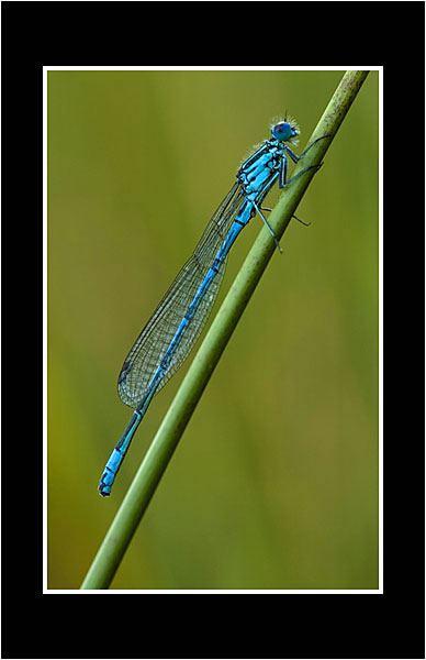 02 Common Blue Damselfly