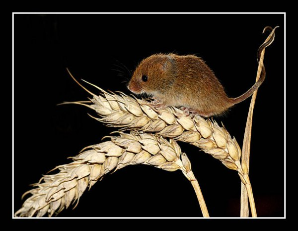 01 Harvest Mouse