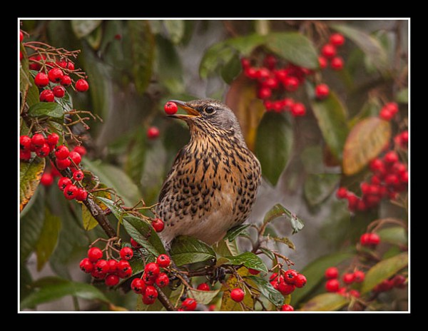 01 Fieldfare On Cotoneaster David Foster