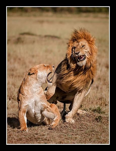 02 African Lions Mating Ritual Wray Douglas