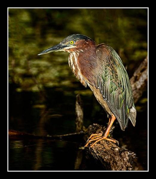 01 Green Heron Wray Douglas