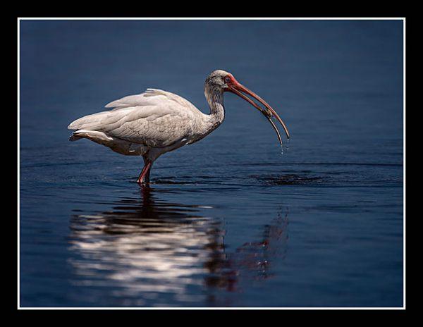 01 White Ibis Wray Douglas 020 0