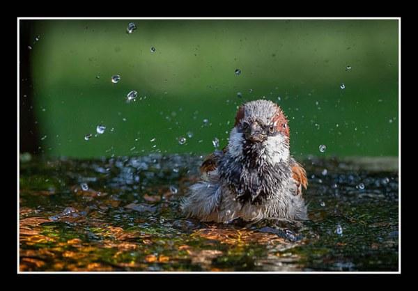 01 Rob Gough Sparrow Bathing
