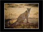 01 Female Leopard jpg